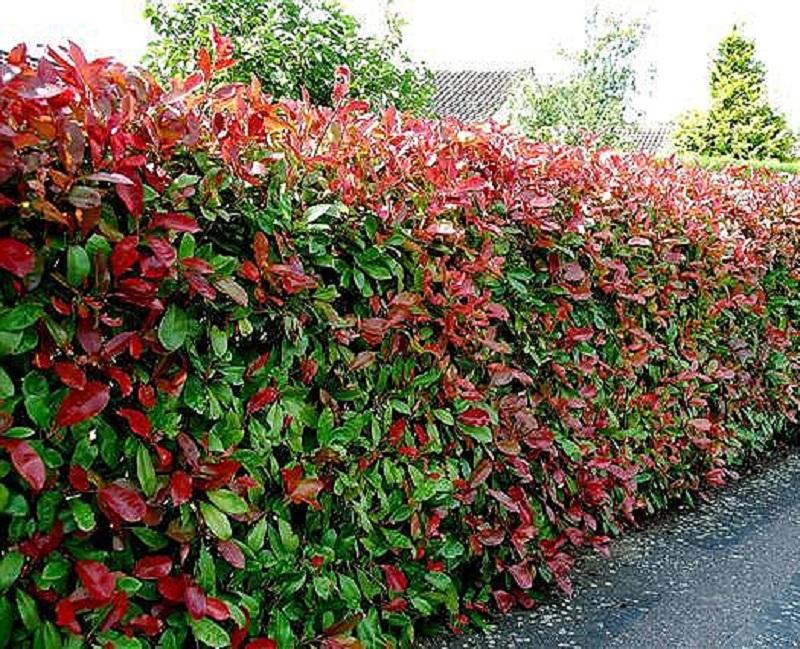 Conoce todos los tipos de plantas tipo cetos para que las for Tipos de arbustos ornamentales
